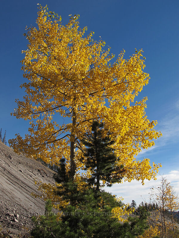 black cottonwood tree (Populus trichocarpa) [White River Canyon, Mt. Hood National Forest, Oregon]