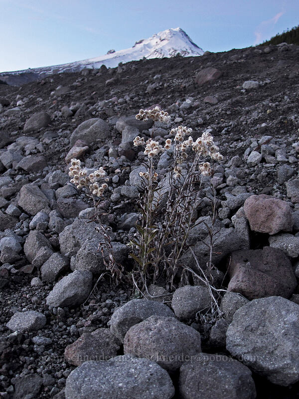 pearly everlasting & Mount Hood (Anaphalis margaritacea) [White River West Sno-Park, Mt. Hood National Forest, Oregon]