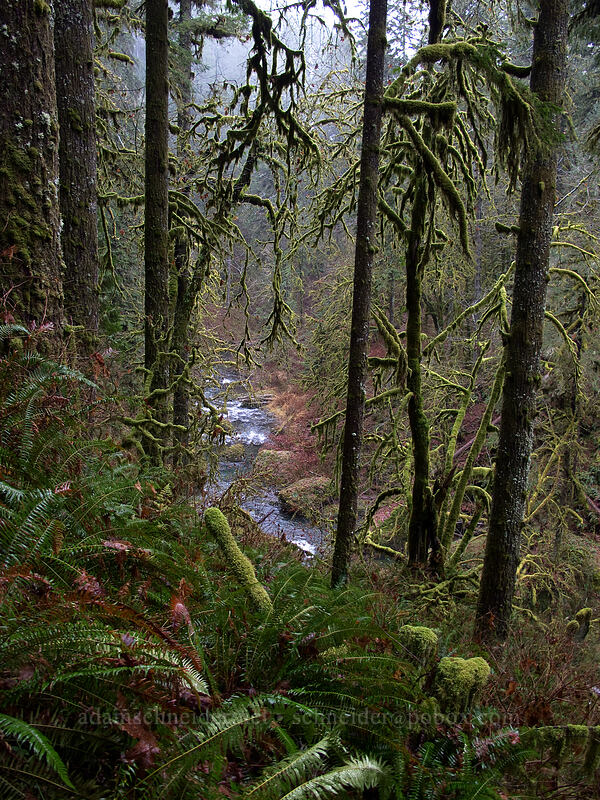 winter forest [Canyon Trail, Silver Falls State Park, Oregon]