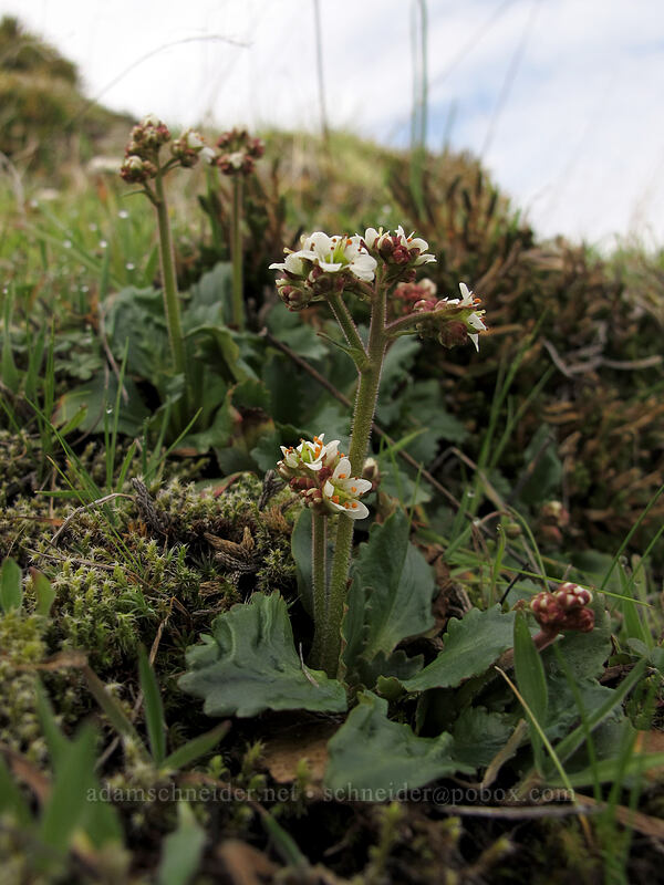 saxifrage (Micranthes sp. (Saxifraga sp.)) [Coyote Wall, Klickitat County, Washington]