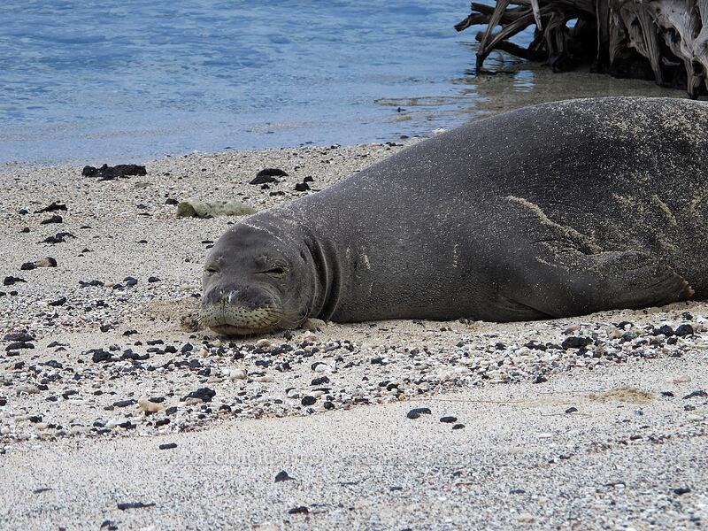 Hawaiian monk seal (Monachus schauinslandi) [Makalawena Beach, Kekaha Kai State Park, Big Island, Hawaii]