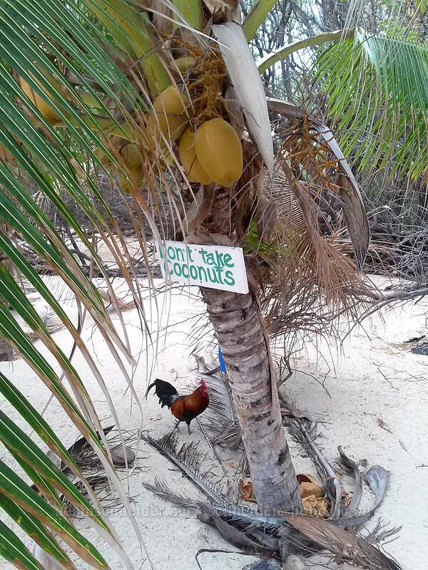 Don't Take Coconuts [Makalawena Beach, Kekaha Kai State Park, Big Island, Hawaii]