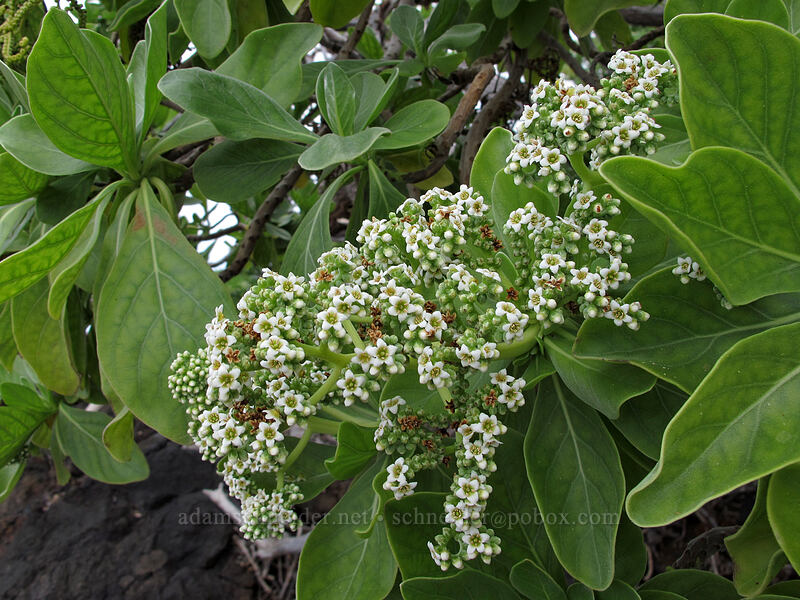 tree heliotrope (Heliotropium foertherianum (Tournefortia argentea)) [Mahai'ula Bay, Kekaha Kai State Park, Big Island, Hawaii]