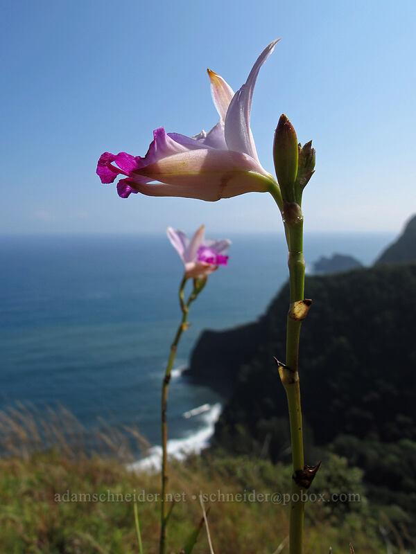 bamboo orchids (Arundina graminifolia) [Pololu Trail, Kohala Forest Reserve, Big Island, Hawaii]