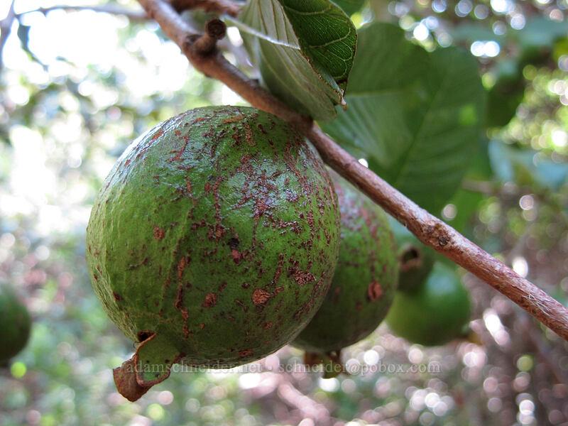 wild guava (Psidium guajava) [Pololu Trail, Kohala Forest Reserve, Big Island, Hawaii]