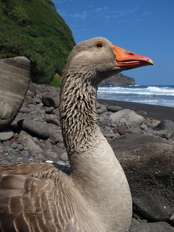 goose on the beach (Anser anser) [Pololu Trail, Kohala Forest Reserve, Big Island, Hawaii]