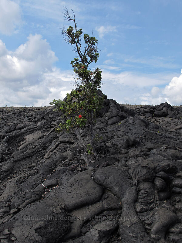 'ohi'a lehua & pahoehoe lava (Metrosideros polymorpha) [Chain of Craters Road, Hawaii Volcanoes National Park, Big Island, Hawaii]