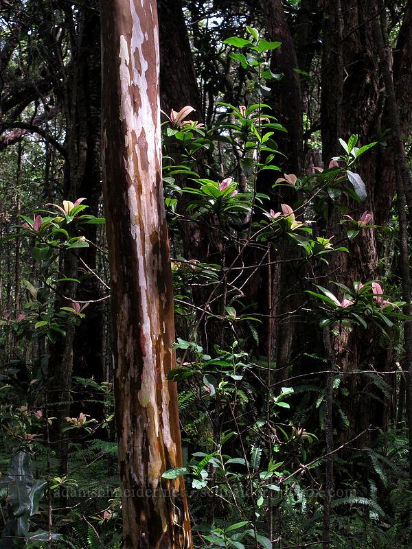 guava trunk & colorful leaves (Psidium guajava) [Nature Trail, Kalopa State Recreation Area, Big Island, Hawaii]
