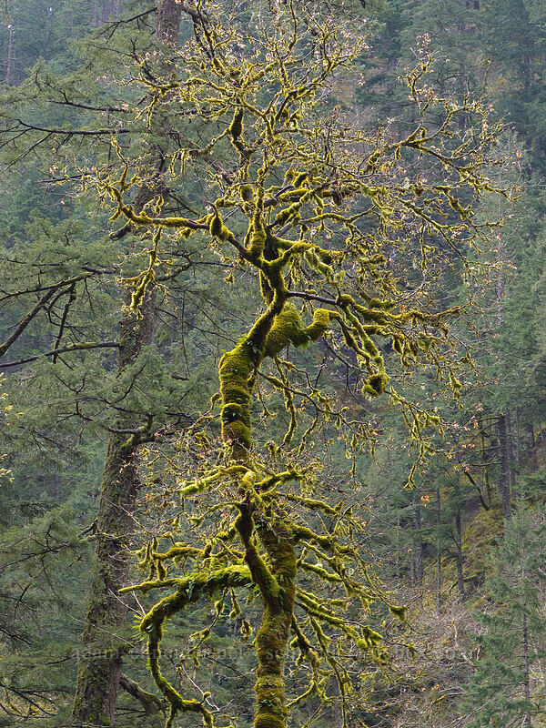 mossy tree [Eagle Creek Trail, Columbia River Gorge, Oregon]
