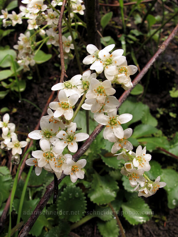 rusty-hair saxifrage (Micranthes rufidula (Saxifraga rufidula)) [Eagle Creek Trail, Columbia River Gorge, Oregon]