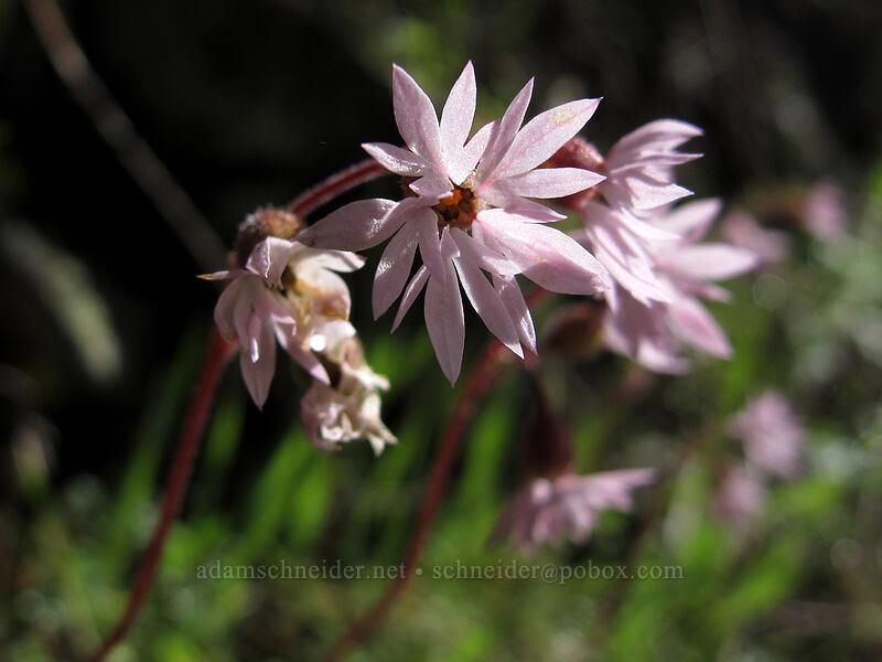 prairie stars (Lithophragma sp.) [Eagle Creek Trail, Columbia River Gorge, Oregon]