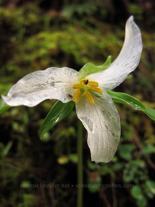 trillium (Trillium ovatum) [Eagle Creek Trail, Columbia River Gorge, Oregon]