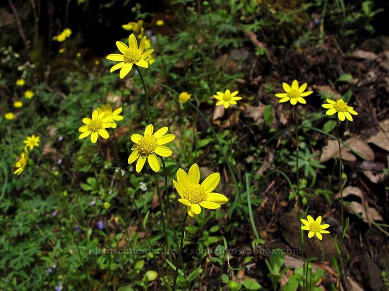 gold stars (Crocidium multicaule) [Eagle Creek Trail, Columbia River Gorge, Oregon]
