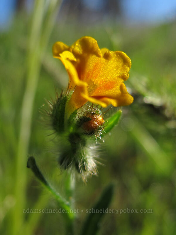 fiddleneck (Amsinckia retrorsa) [Mosier Plateau Trail, Mosier, Oregon]