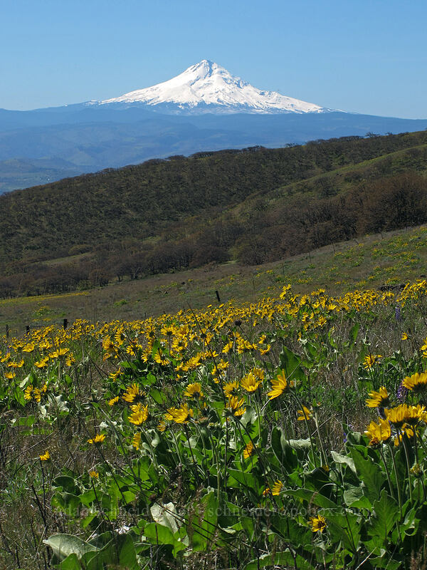 Mt. Hood & balsamroot (Balsamorhiza careyana) [Stacker Butte Road, Columbia Hills State Park, Washington]