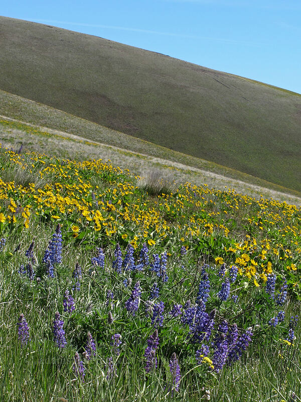 balsamroot & lupines (Balsamorhiza careyana, Lupinus sp.) [Stacker Butte Road, Columbia Hills State Park, Washington]