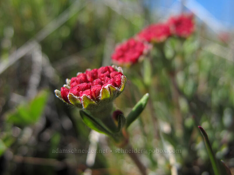 red buds of scabland buckwheat (Eriogonum sphaerocephalum var. sublineare) [Stacker Butte Road, Columbia Hills State Park, Washington]