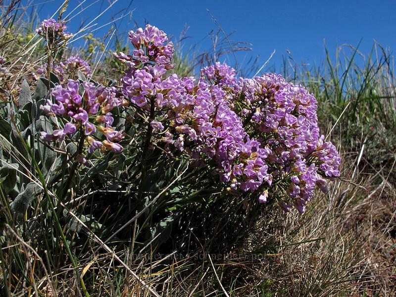 dagger pod (Phoenicaulis cheiranthoides) [Stacker Butte Road, Columbia Hills State Park, Washington]