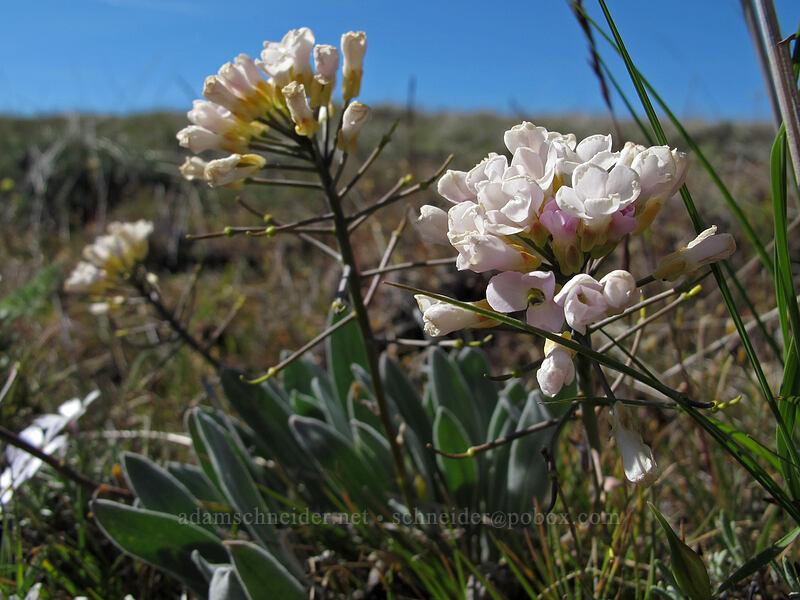 dagger pod with white flowers (Phoenicaulis cheiranthoides) [Oak Spring Trail, Columbia Hills State Park, Washington]