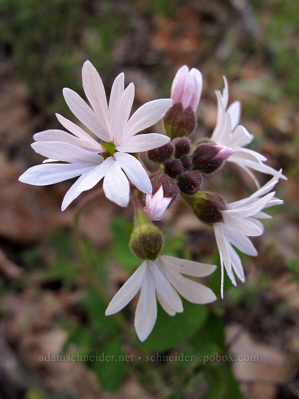 prairie stars (Lithophragma sp.) [Oak Spring, Columbia Hills State Park, Washington]