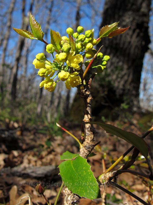 Oregon-grape flowers (Mahonia aquifolium (Berberis aquifolium)) [Oak Spring, Columbia Hills State Park, Washington]