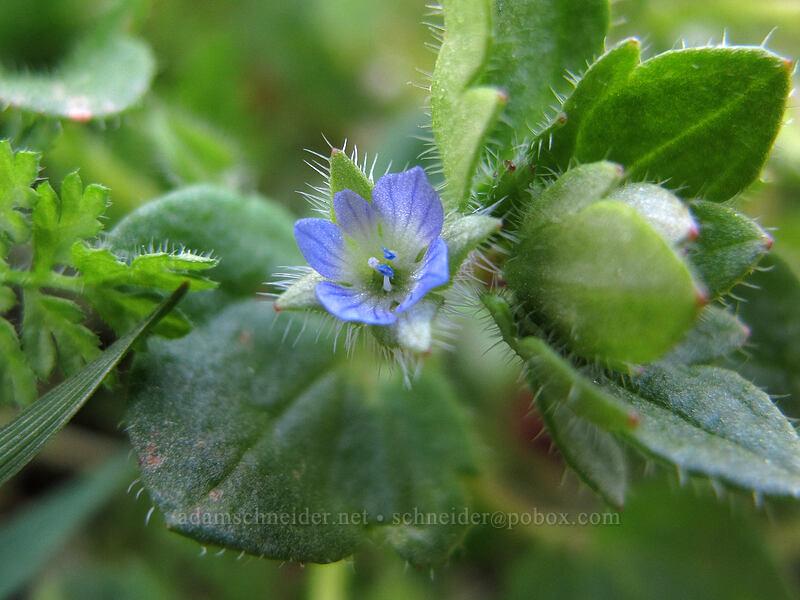 common speedwell (Veronica arvensis) [Oak Spring, Columbia Hills State Park, Washington]