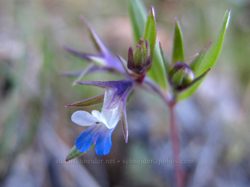 small-flowered blue-eyed-mary (Collinsia parviflora) [Oak Spring Trail, Columbia Hills State Park, Washington]