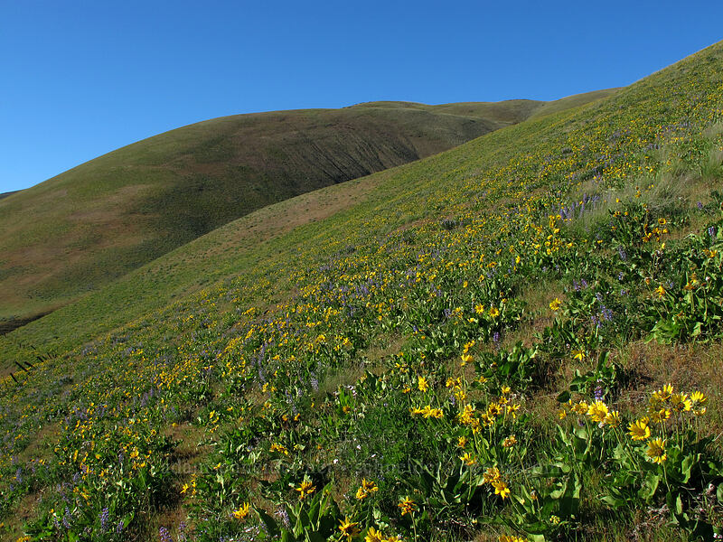 balsamroot & lupines (Balsamorhiza careyana, Lupinus sp.) [Dalles Mountain Road, Klickitat County, Washington]