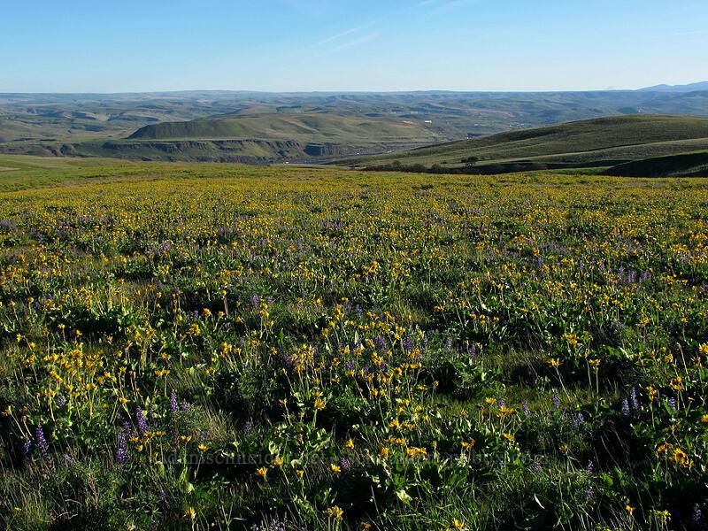 balsamroot & lupines (Balsamorhiza careyana, Lupinus sp.) [Dalles Mountain Road, Klickitat County, Washington]