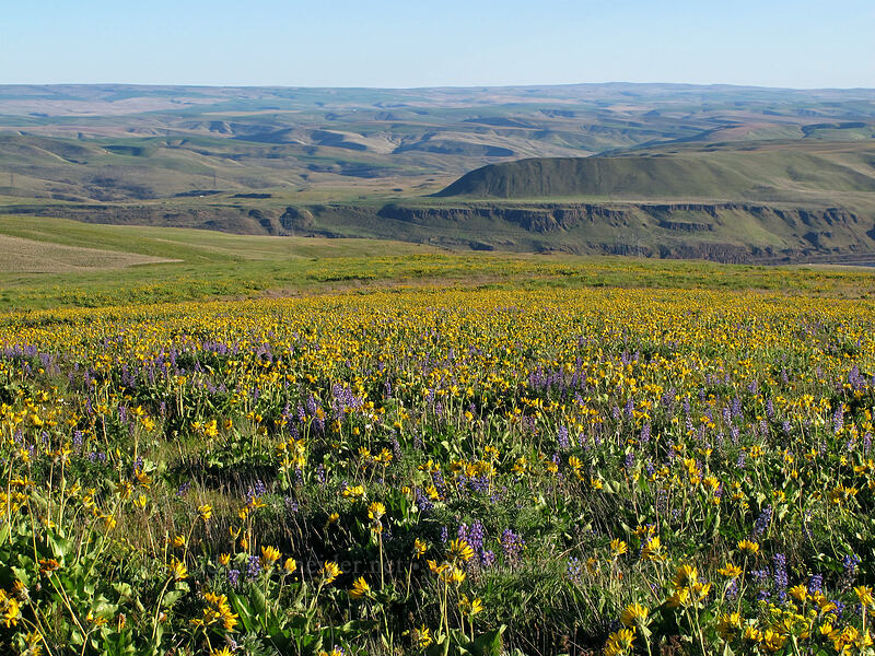 balsamroot & lupines & hills (Balsamorhiza careyana, Lupinus sp.) [Dalles Mountain Road, Klickitat County, Washington]