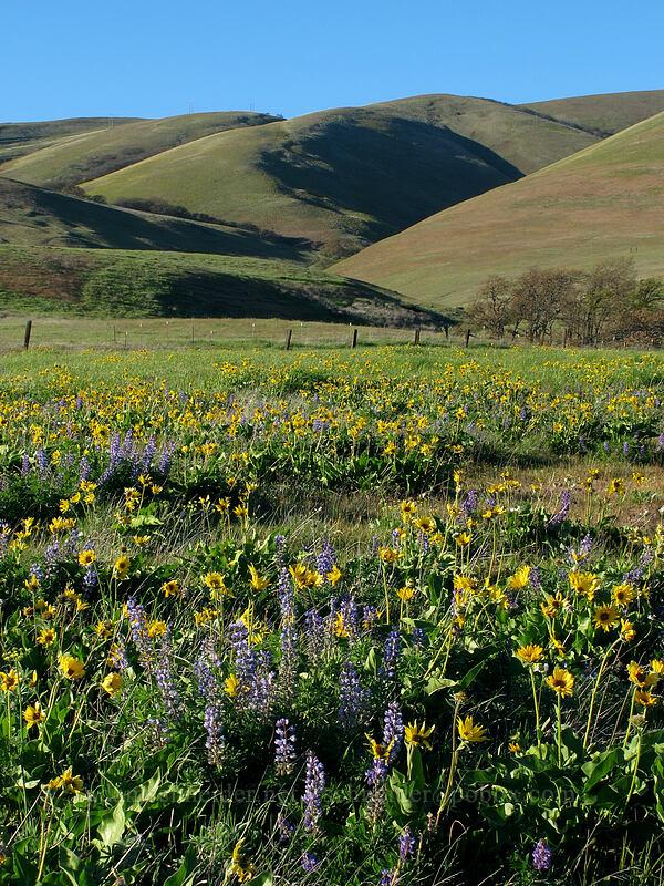 Columbia Hills, balsamroot & lupines (Balsamorhiza careyana, Lupinus sp.) [Dalles Mountain Road, Klickitat County, Washington]