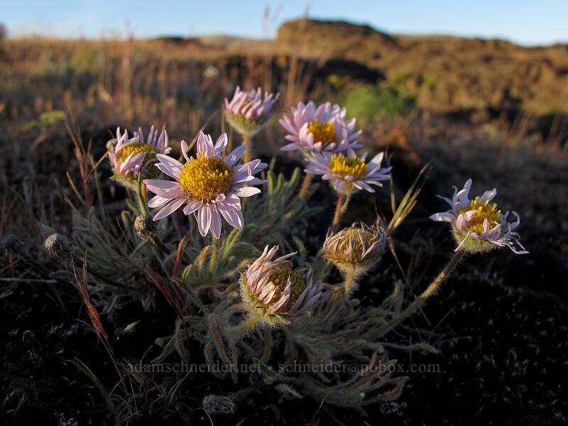 cushion fleabane (Erigeron poliospermus) [Horsethief Butte, Columbia Hills State Park, Washington]