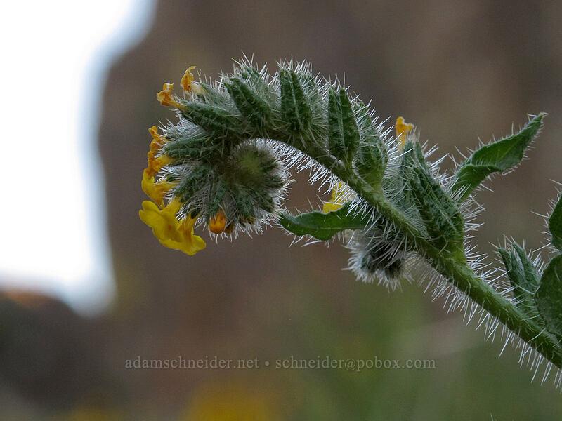 fiddleneck (Amsinckia retrorsa) [Horsethief Butte, Columbia Hills State Park, Washington]