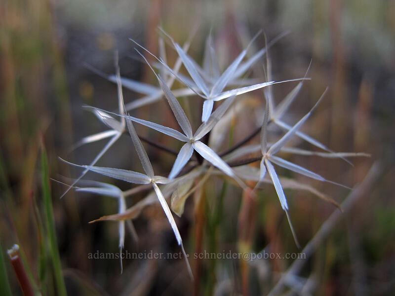 silverpuffs seeds (Uropappus lindleyi (Microseris lindleyi)) [Horsethief Butte, Columbia Hills State Park, Washington]