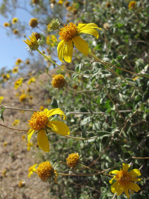 shrubby goldeneye (Bahiopsis parishii) [Pinnacle Peak Park, Scottsdale, Arizona]