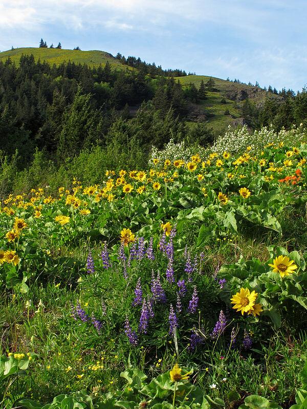 balsamroot & lupines (Balsamorhiza deltoidea, Lupinus latifolius) [Dog Mountain Trail, Skamania County, Washington]