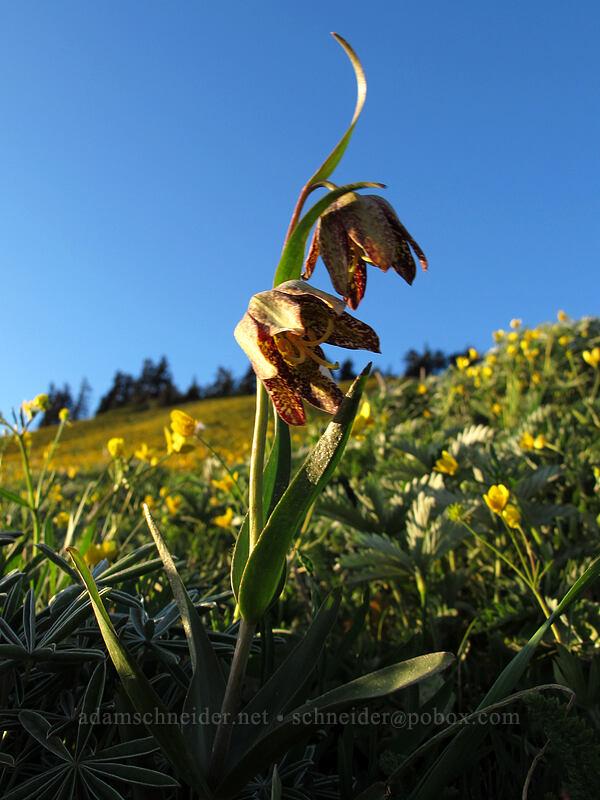 chocolate lily (Fritillaria affinis) [Dog Mountain Trail, Skamania County, Washington]