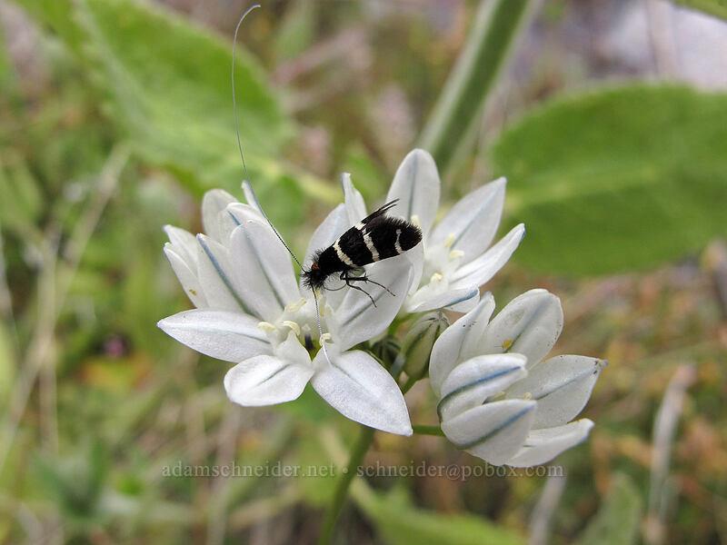 fairy moth on white brodiaea (Triteleia hyacinthina, Adela sp.) [Hetch Hetchy Reservoir, Yosemite National Park, California]