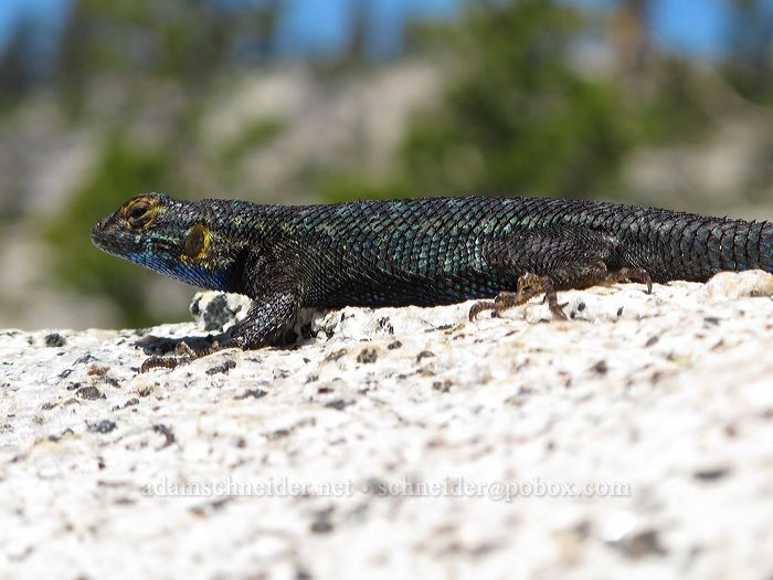 Sierra fence lizard (Sceloporus occidentalis taylori) [Olmsted Point, Yosemite National Park, California]
