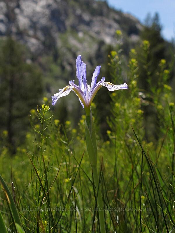 western blue flag iris (Iris missouriensis) [Annett's Mono Village, Toiyabe National Forest, California]