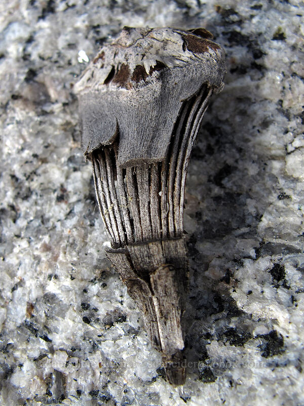 fir seed skeleton (Abies sp.) [Donnell Vista, Stanislaus National Forest, California]
