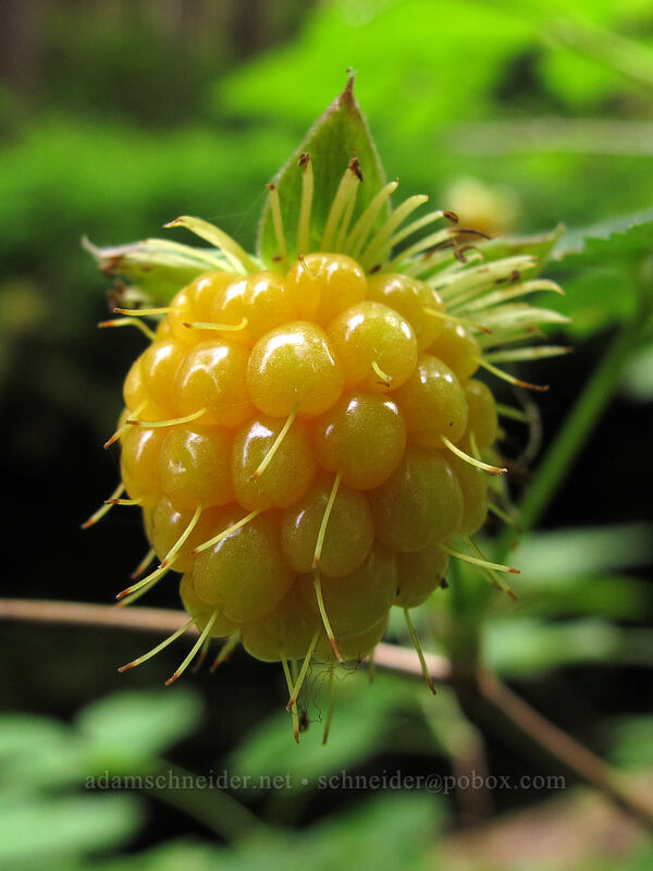 salmonberry (Rubus spectabilis) [Sol Duc Trail, Olympic National Park, Washington]