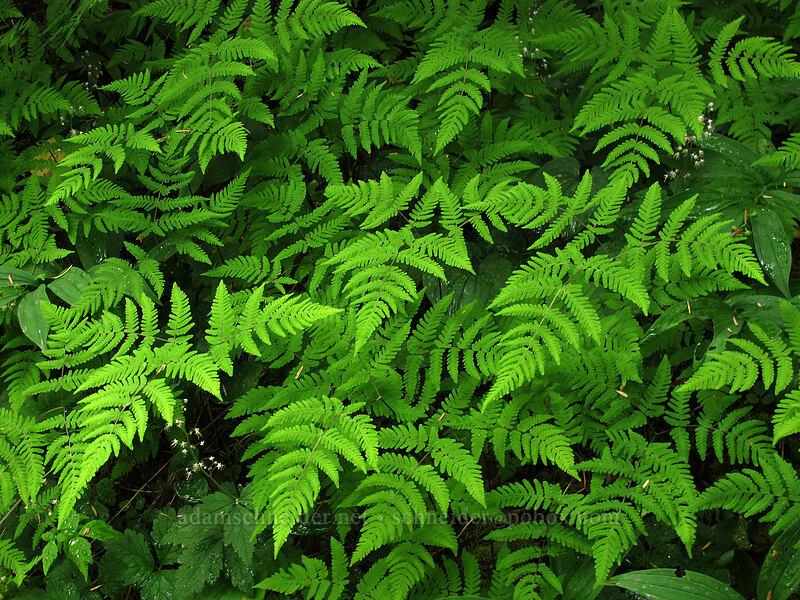 western oak fern (Gymnocarpium disjunctum (Gymnocarpium dryopteris)) [Sol Duc Trail, Olympic National Park, Washington]