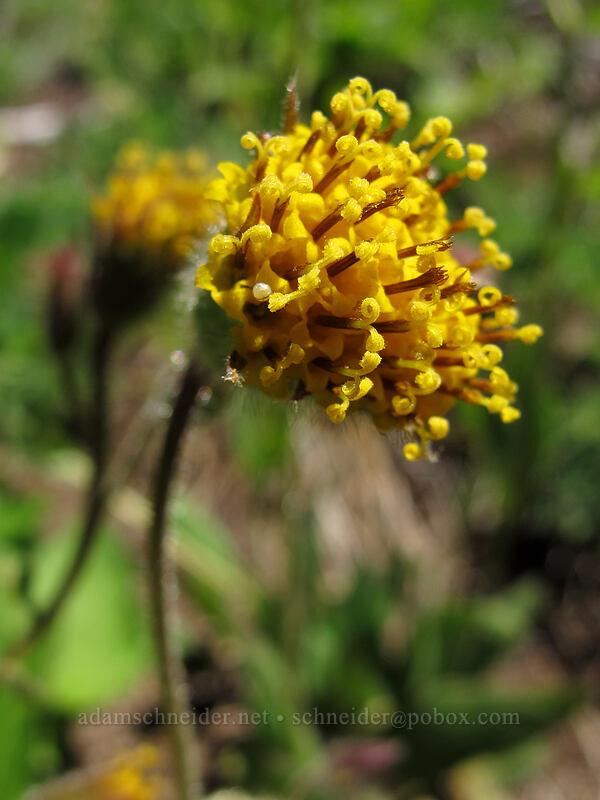 nodding arnica (Arnica parryi) [Switchback Trail, Olympic National Park, Washington]