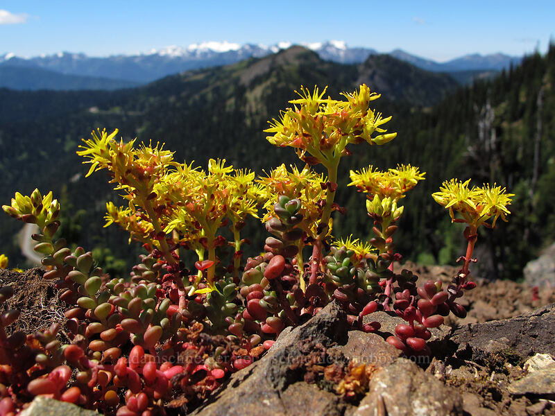 spreading stonecrop (Sedum divergens) [Switchback Trail, Olympic National Park, Washington]