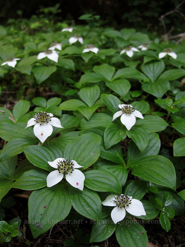 bunchberry flowers (Cornus unalaschkensis (Cornus canadensis)) [Lake Angeles Trail, Olympic National Park, Washington]
