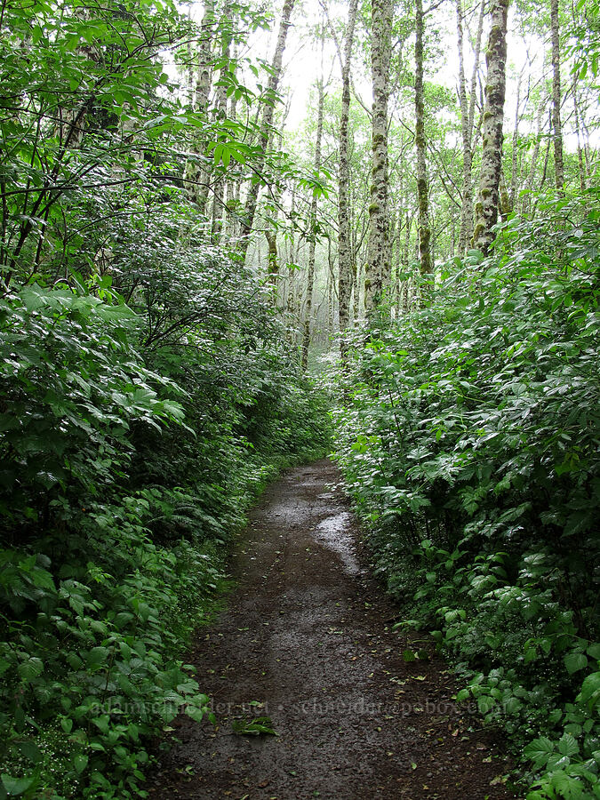 salmonberry thicket (Rubus spectabilis) [Saddle Mountain Trail, Clatsop County, Oregon]