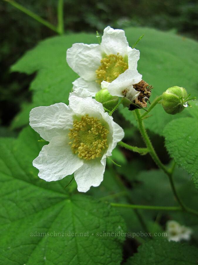 thimbleberry flowers (Rubus parviflorus) [Saddle Mountain Trail, Clatsop County, Oregon]