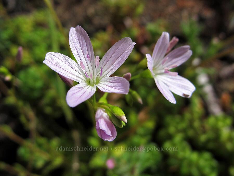 little-leaf montia (Montia parvifolia) [Saddle Mountain Trail, Clatsop County, Oregon]