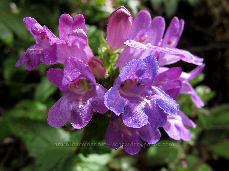 coast penstemon (Penstemon serrulatus) [Saddle Mountain Trail, Clatsop County, Oregon]
